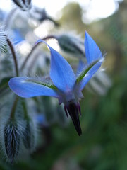 flower borage herb