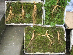 Ginseng roots on a bed of moss