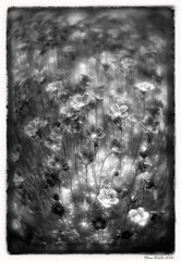 In the flowers dreamings /    ... (elenaerda) Tags: flowers blackandwhite bw sun flower macro garden spring russia monocle erda elenaerda