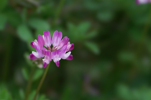 Chinese milk vetch 4