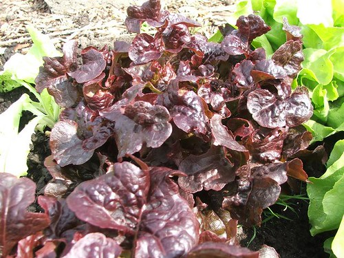 Salad Bowl Lettuce - Red