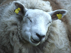 But... (mion.nl) Tags: wool sheep schaap toohot 100purewool spittinshells copyrightmionnl mionnl