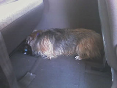 Annie cowering before going to the vet