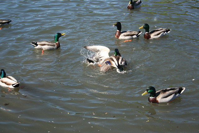 More Duck Fighting