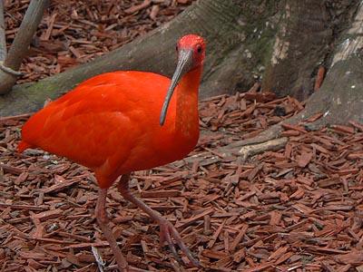 ibis rouge.jpg