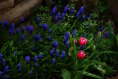 (Julin Ortega-Villaizn) Tags: plant flower macro nature fleur pentax flor blumen tulip istds orton sigma18125mmf3556dc