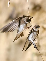 (#11) Trouble Maker (tinyfishy) Tags: bird flying inflight swallows troublemaker naturesfinest sandmartin bankswallow lmaoanimalphotoaward