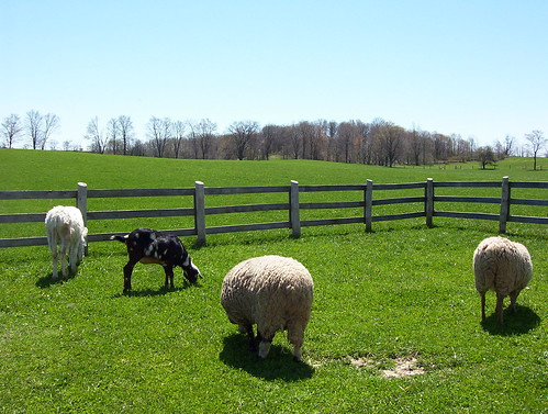 Sheep may safely graze.
