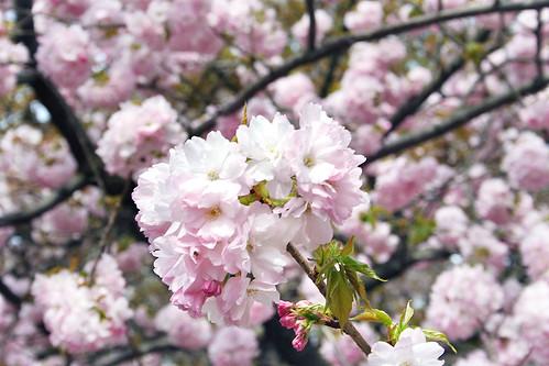 Cherry-Blossom-12