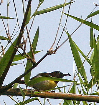 Purple Rumped Sunbird with Insect, 12 May 07