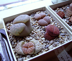 Lithops Collection (zaferina) Tags: succulent indoorplant livingstone lithop