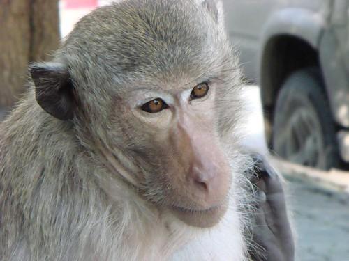 Lop Buri monkey...