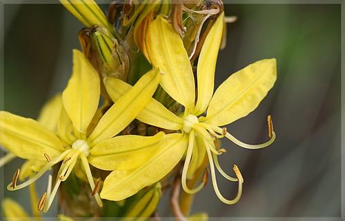 Junkerlilie - Asphodeline lutea