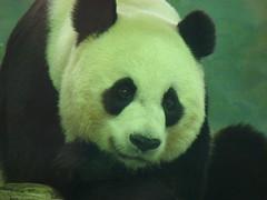 Beautiful mama mei (cpanda01) Tags: nz pandas pannas