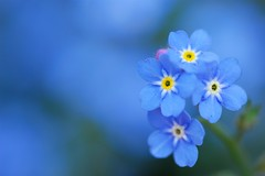 Forget-Me-Not (*Sakura*) Tags: blue flower macro japan spring explore sakura forgetmenot     sakura
