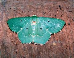 Papuan moth (Mangiwau) Tags: macro green insect indonesia moth insects creepy lepidoptera moths papua emerald hijau insectes insecta motte serangga crawlies jayapura irian senggi tekai wowiekazowie nouvelleguinee