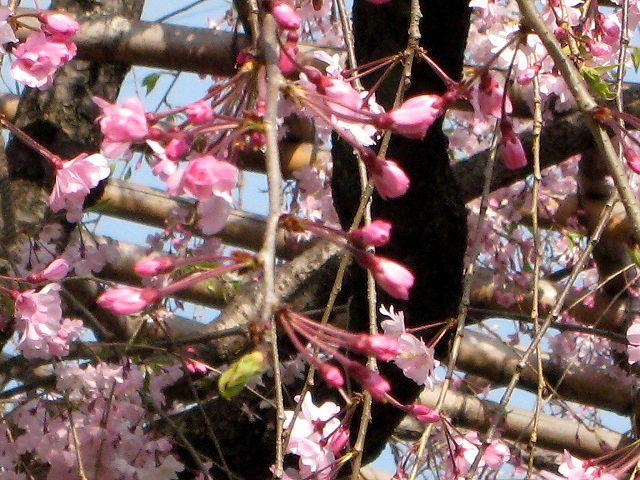 京都・城南宮30 桃山の庭3 さくら紅枝垂桜