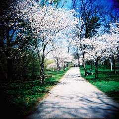 Cherry Blossoms in High Park (.natalie) Tags: toronto holga crossprocessed highpark slidefilm agfa rsxii