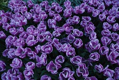 DSC_9162 (elmofoto) Tags: flowers flower holland netherlands garden spring flora colorful europe tulips may tulip keukenhof blooming lisse d80 elmofoto lorenzomontezemolo