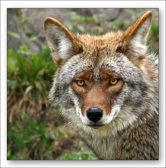 Look at Me in the Eyes (LeFon) Tags: coyote canon bravo quebec parcomega 70300 canislatrans magicdonkey flickrsbest specanimal lefion abigfave specanimalphotooftheday colorphotoaward bratanesque