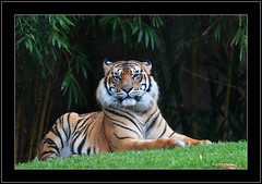Tiger in the rain. (Barbara J H) Tags: cat rainyday tiger australia bigcat qld australiazoo beerwah naturesfinest canon30d endangeredanimal captiveanimal specanimal barbarajh diamondclassphotographer