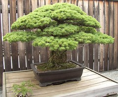 Grandaddy of All Bonsai (Cowtools) Tags: tree history washingtondc spring bonsai nationalarboretum may2007