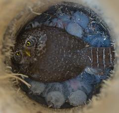 Varpuspöllön poikaset (mattisj) Tags: bird birds searchthebest explore owl owls pygmyowl lintu linnut naturesfinest pöllö specnature chrisparkinson glaucidiumpasserinum pöllöt varpuspöllö abigfave