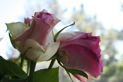 2007-MAY-22-rosesgoing2