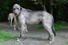 Man of the pack (Jenya Campbell) Tags: family portrait dog pet animal fun outside big hound perro sighthound connery wolfhound irishwolfhound giantbreed gazehound