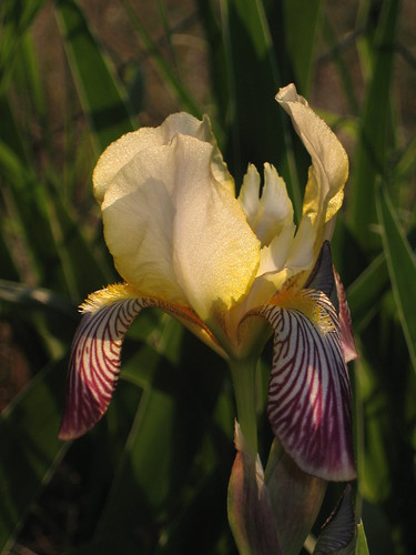 Yellow and Purple Iris 2