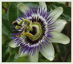 Passionflower for Wil. (Margot) Tags: flower wil garden spring seasons passiflora passionflower excellence passiebloem blueribbonwinner passibloem margotpouw impressedbeauty diamondclassphotographer flickrdiamond margot