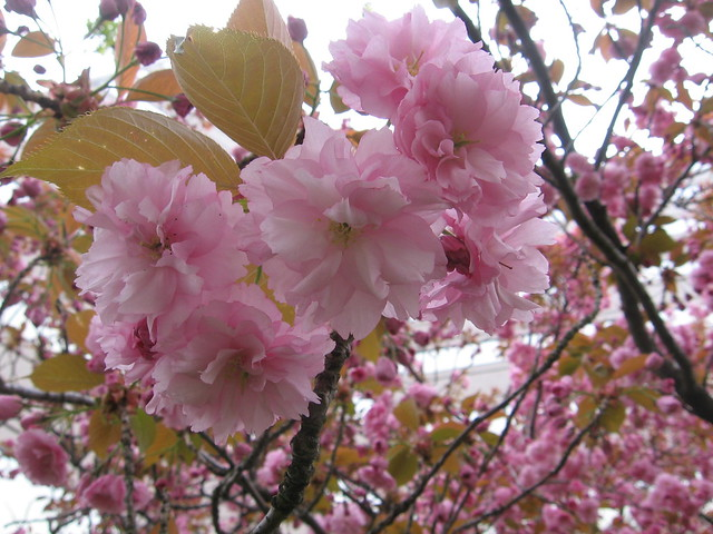 pink_tree_1
