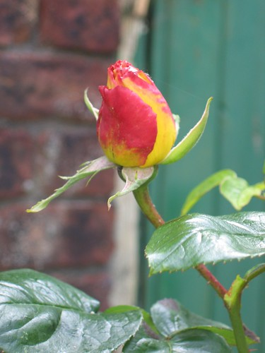 Rose bud - Peace