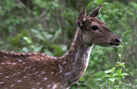 spotted deer mother