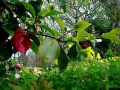 Sintra - cind ne-au prins de glezna florile (calauza) Tags: flower portugal sintra rhododendron iarba greengrass flori azaleea portugalia