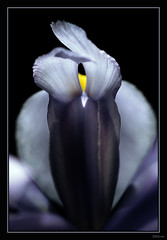 ~ Iris ~ (Brenda-Starr) Tags: flowers iris abstract flower macro nature floral canon flora searchthebest canon350d ef100mmf28 canonrebel soe excellence instantfave may2007 inadesignphotography flowersonblack superaplus aplusphoto explore16may302007