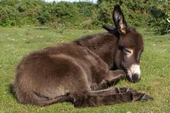 Donkey (treehouse1977) Tags: nationalpark champion donkey jim hampshire newforest eastend treehouse1977 jimchampion