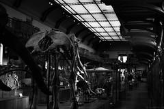 Jurassic Muséum (Meculda) Tags: musée paléontologie france paris monochrome noiretblanc bâtiment mamouth squelettes