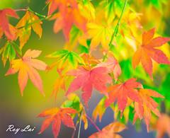 IMG_1690 (CBR1000RRX) Tags: 650d canon taiwan travel tourist landscape maple leaf autumn