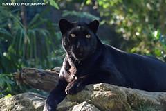 Black leopard - Zoo Amneville (Mandenno photography) Tags: dierenpark dierentuin dieren animal animals france frankrijk leopard bigcat big cat luipaard