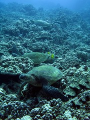 first G shot (bluewavechris) Tags: ocean life sea fish water animal coral canon hawaii marine underwater turtle reptile shell diving maui snorkeling reef creature flipper g7