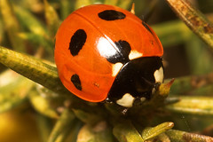 """Common 7 spot ladybird (Coccinella 7-(1) • <a style=""""font-size:0.8em;"""" href=""""http://www.flickr.com/photos/57024565@N00/444695655/"""" target=""""_blank"""">View on Flickr</a>"""