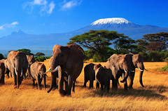 The Giants of Africa (| HD |) Tags: africa elephant 20d kilimanjaro animal canon giant mammal photography mt kenya quality wildlife safari trunk hd darwish hamad amboseli elefantes animalkingdomelite