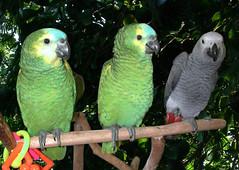 Three Stooges (Scott Kinmartin) Tags: bird interestingness parrot explore africangrey macaw bluefrontedamazon amazonparrot congoafricangrey bluefrontamazon amazonaaestiva psittacuserithacus 1on1pets africanbird amazonbird avianexcellence