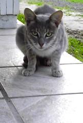 intense cat (jamile ...) Tags: look cat grey intense whiskers greeneyes paws kissablekat