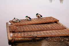 Ducks on a grate