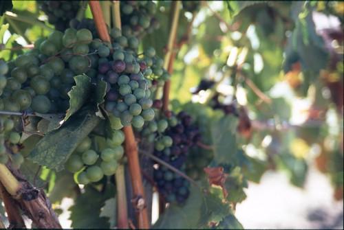 Viticultura ecológica