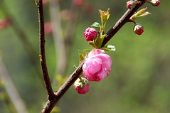 Cherry bud (lisa sch.) Tags: china pink flower cherry beijing bud peking kirschbluete miriam63