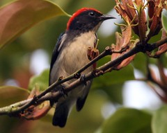 Scarlet backed flowerpecker, male