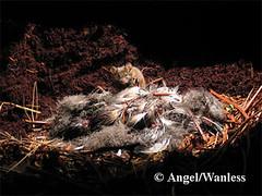070413- giant mice eat birds in Atlantic Gaugh Island!!!